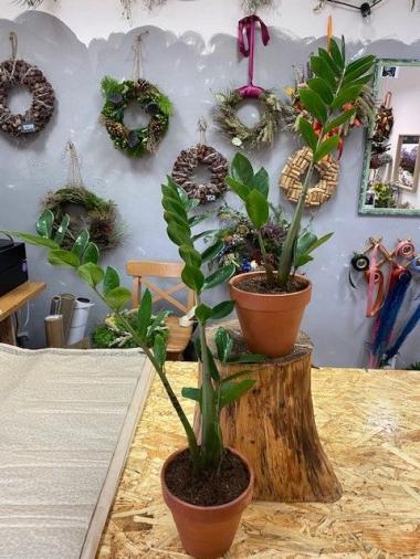 Pokojové rostliny - Zamiokulkas