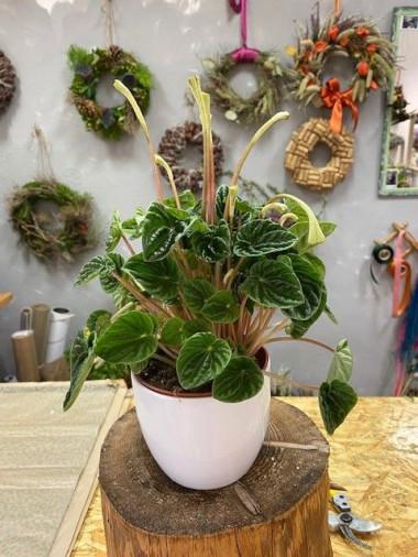 Pokojové rostliny - Pepřinec s bílým květináčem